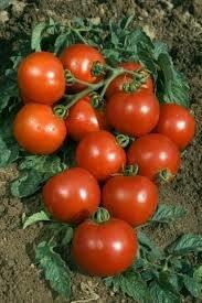 Tomate Rougella (greffée)