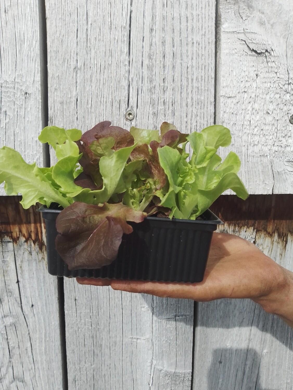 Salade tête mélange