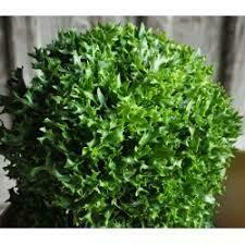 Salade Salanova frisée verte (6p)