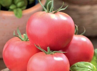 Tomate Rose de Berne (Greffée)