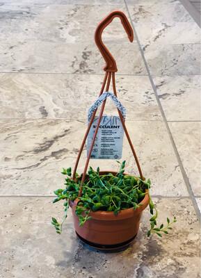 String of Teardrops plant