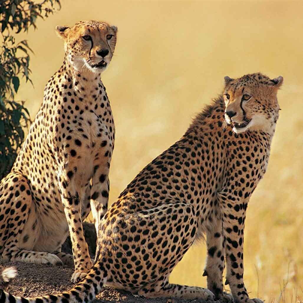 Microfiber cloth premium quality 'Cheetahs'