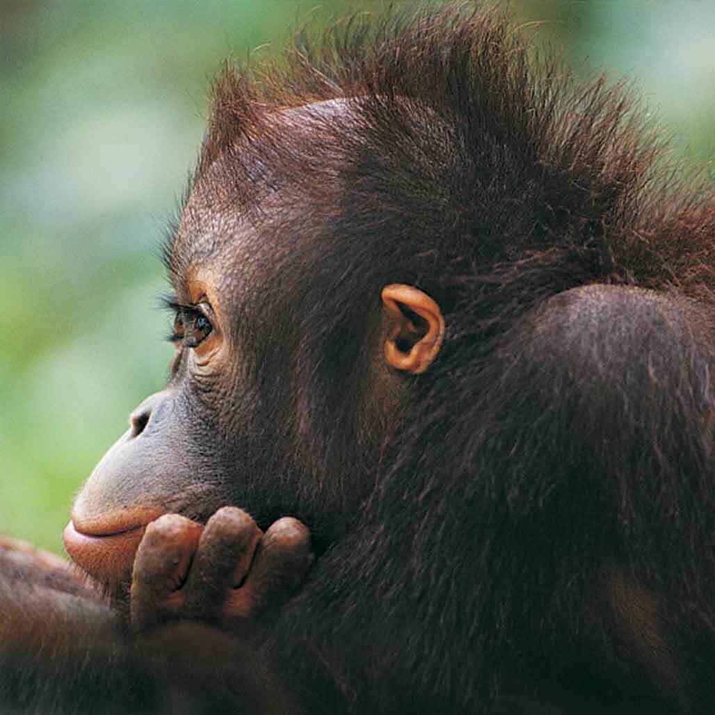 Microfiber cloth premium quality 'Orangutan'