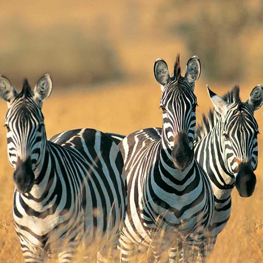 Microfiber cloth premium quality 'Zebras'