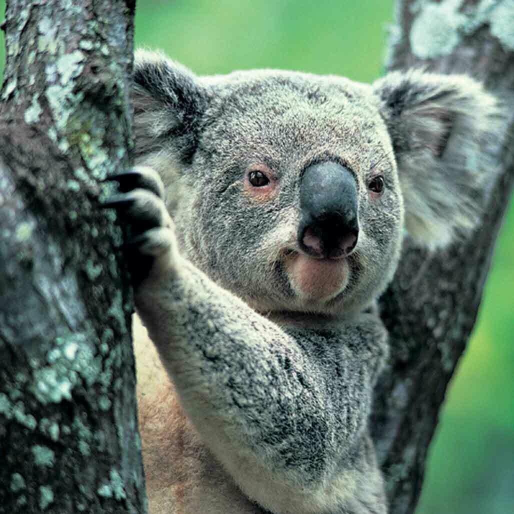 Microfiber cloth premium quality 'Koala'