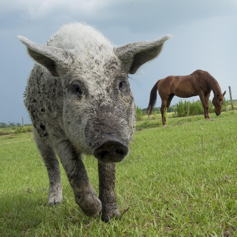 Pork Boston Butt Roast (Average 3.5 lbs. @ $10.50/lb.)