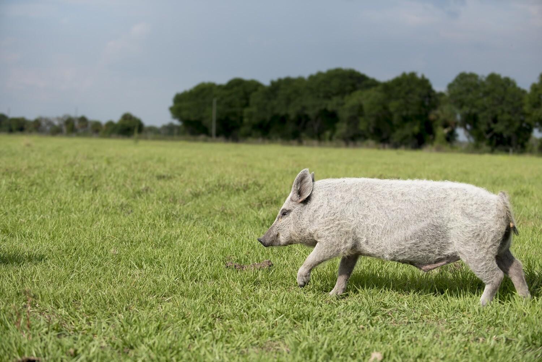 Pork Picnic Roast (Average 3.5 lbs.@ $9.50/lb.)