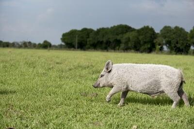 Pork Picnic Roast (Average 3lbs.@ $9.50/lb.)