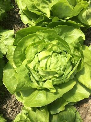 Kopfsalat grün (pro Stück)