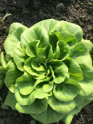 Salanova grün (pro Stück)
