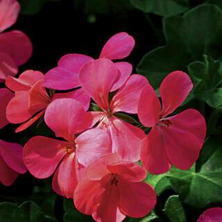 Blizzard Pink Ivy Geranium