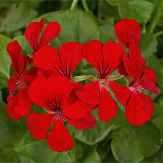Blizzard Red Ivy Geranium