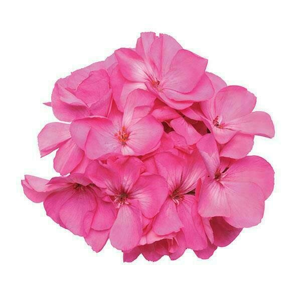 Fantasia Shocking Pink Geranium