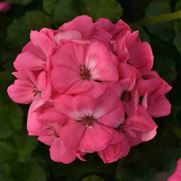 Growers Choice Pink Geraniums Eclectic Mix