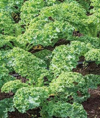 Kale - Prizm Hybrid