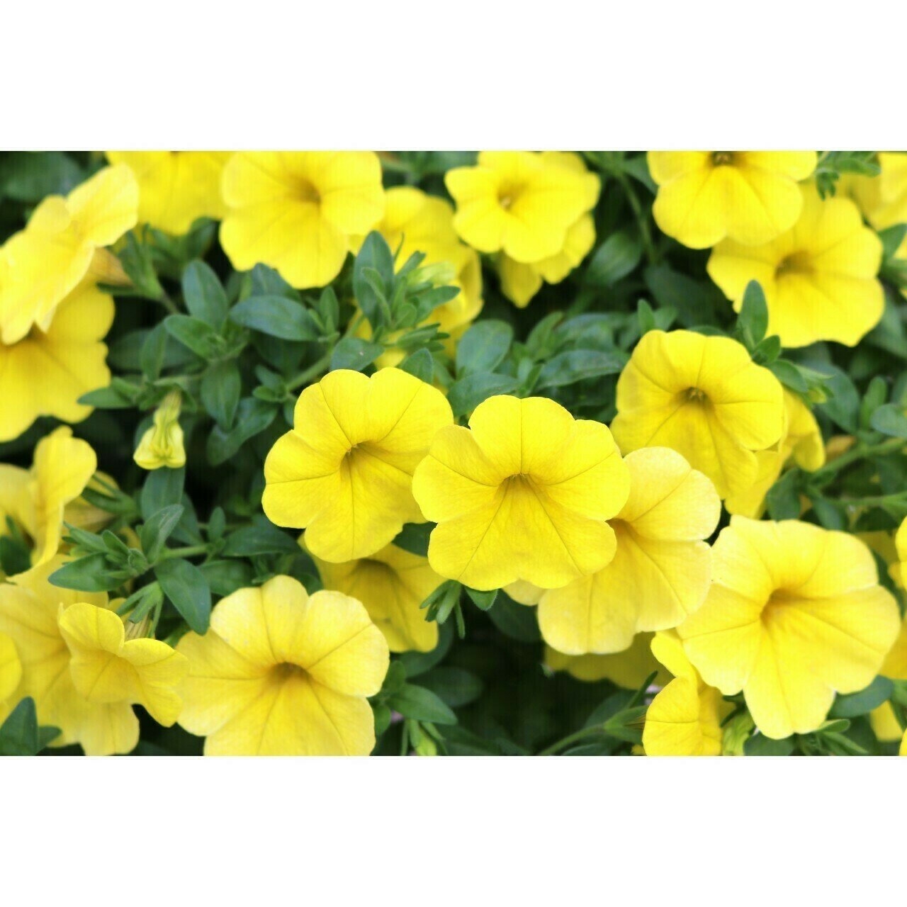 Kona Yellow Million Bells
