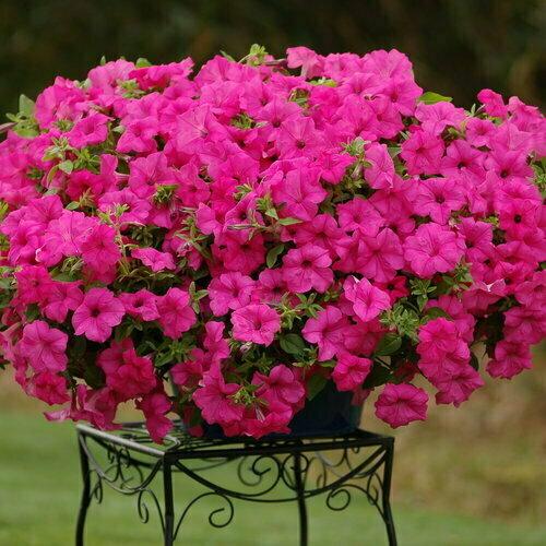 Sumo Pink Petunia