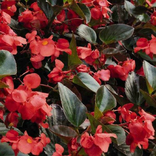Whopper Red Upright Begonia