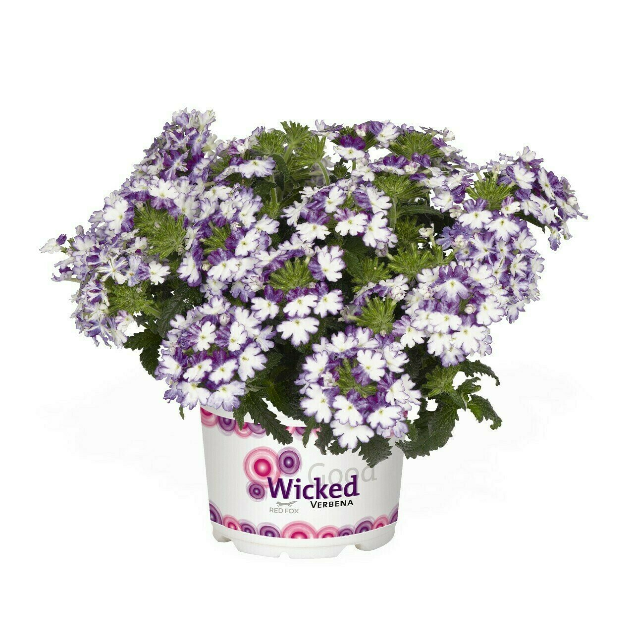 Wicked Cool Blue Verbena