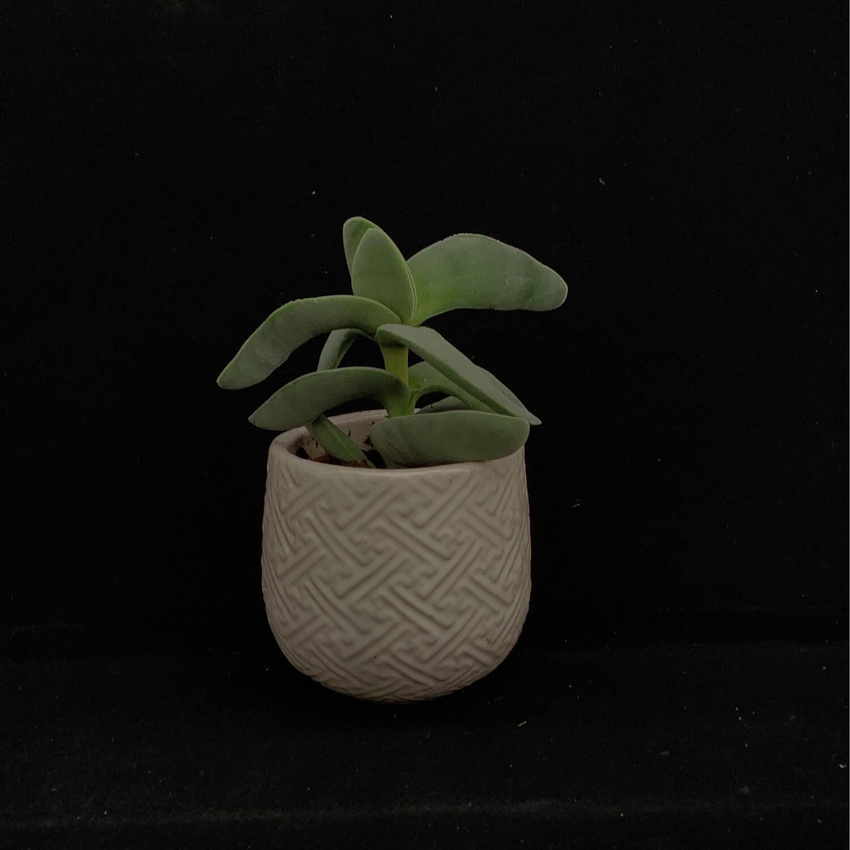 Small Succulent In White Pot