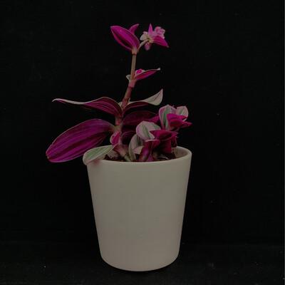 Tri-Colour House Plant
