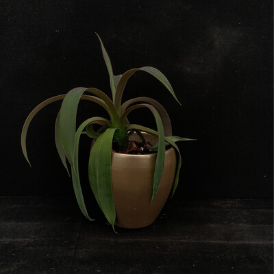 House Plant In Gold Pot