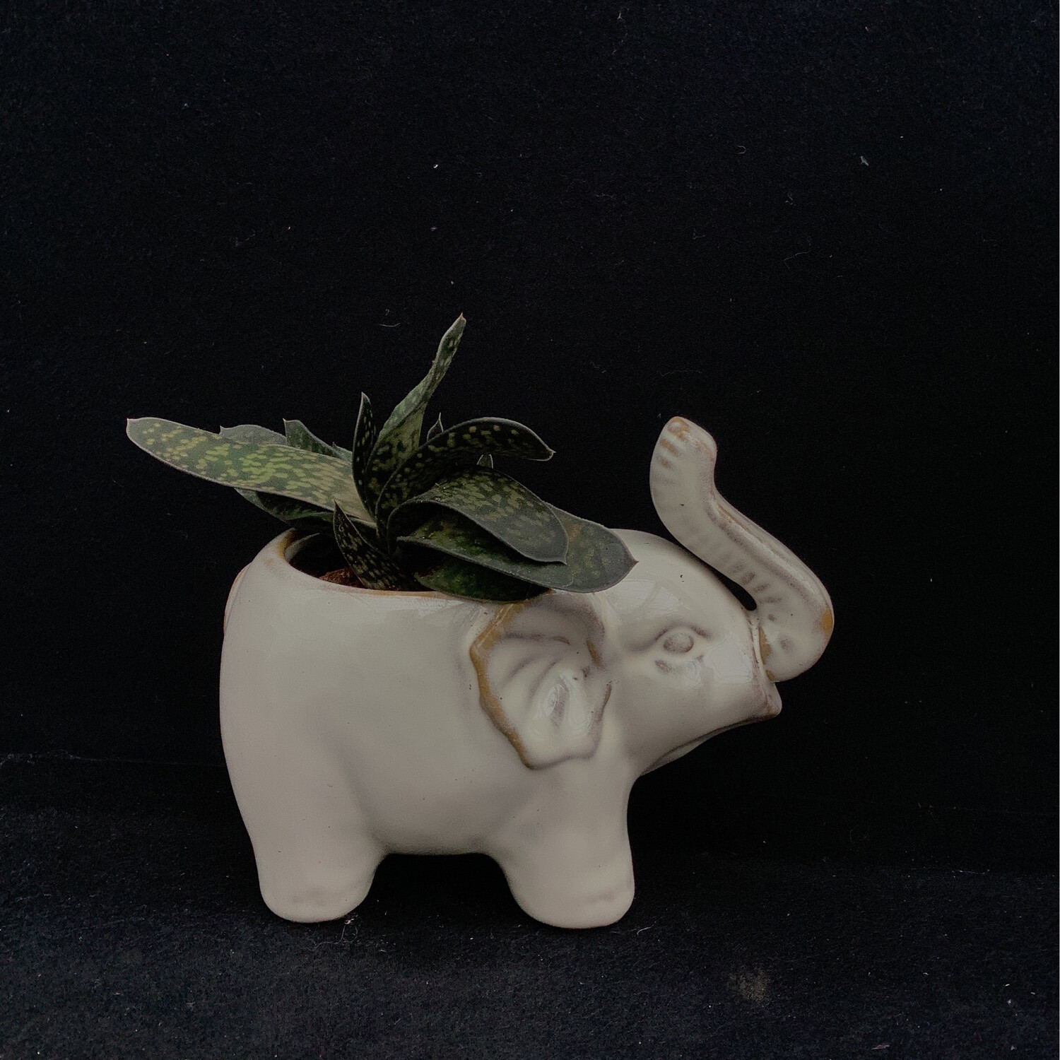 Small Succulent In Elephant