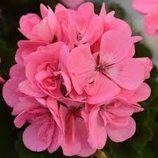 Fantasia Pink Geraniums