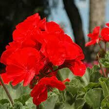 Fantasia Cardinal Red Geraniums