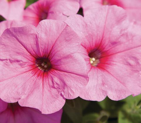 Pinkalicous Petunia