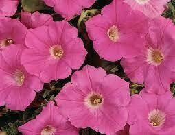 Easy Wave Pink Shades Petunia