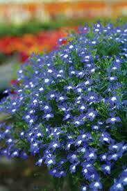 Hot Bavaria Lobelia