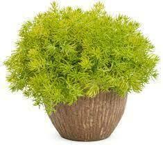 Sedum Lemon Coral