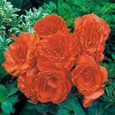 Upright Non Stop Orange Begonia