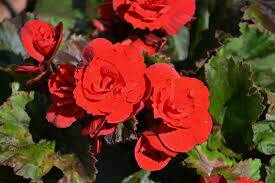 Solenia Red Orange Begonia