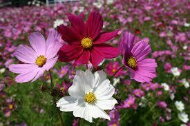 Cosmos Assorted Colours