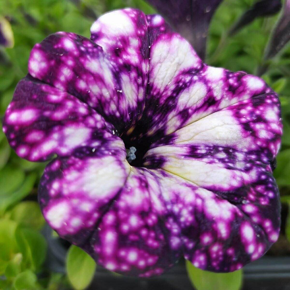 Surprise Sparkler Burgundy Petunia