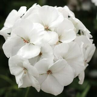 Calilope White Partly Trailing Geranium