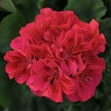 Fantasia Cranberry Sizzle Geraniums