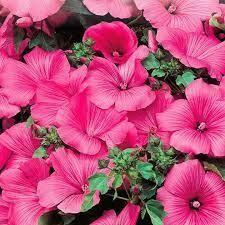 Lavetera Pink