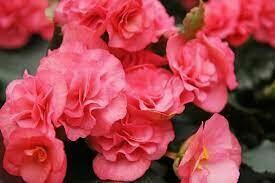 Upright Non Stop Pink Begonia