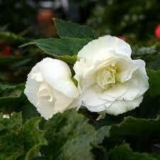 Upright Non Stop White Begonia