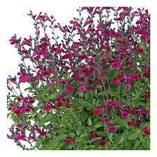 Ignition Fuchsia Salvia