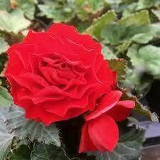 Upright Non Stop Red Begonia