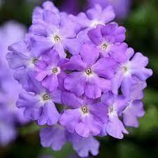 Verbena Firehouse Lavender