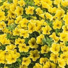 Bright Yellow Calibrachoa Million Bells