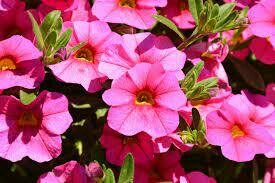 Bright Pink Calibrachoa Million Bells