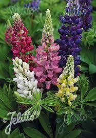 Lupine Gallery Mix