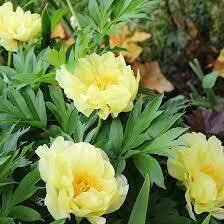 Yellow Peony Bartzella
