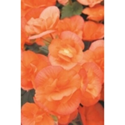 Solenia Apricot Begonia